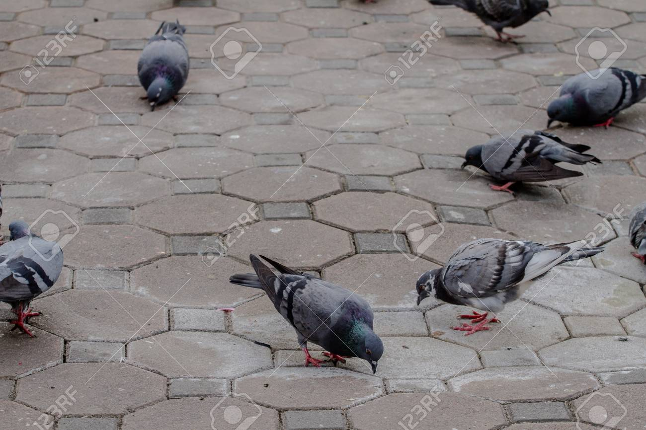 92252468-many-pigeons-pecking-for-food-on-the-ground-.jpg