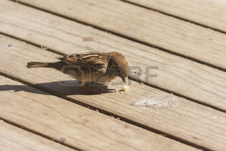 pecking-sparrow-on-wooden-boards.jpg